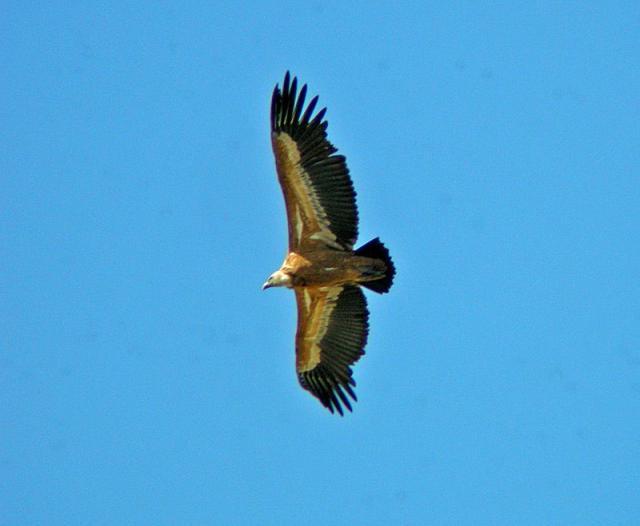 Resultado de imagen de buitre leonado volando