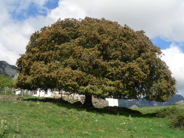 Yassielgeo2014 zona templada for Arboles de hoja perenne wikipedia