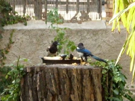 P jaros en comedero de jard n castejn de las armas for Aves de jardin