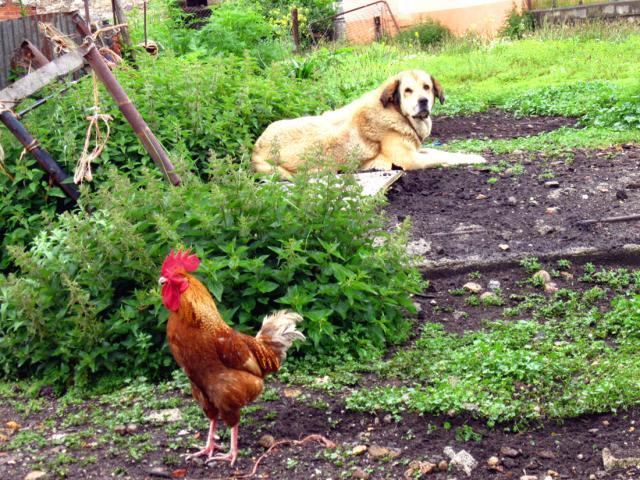 Compatibilidad amorosa horóscopo chino: el gallo -