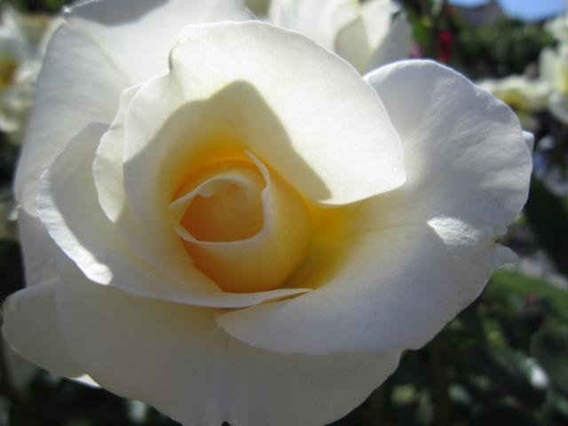 La rosa del jardin alcala de henares alcal de henares for Tanatorio jardin alcala de henares