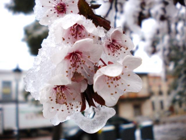 Flor nevada - Foro de sonseca ...