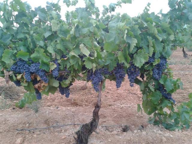 cepa de uva - Casas-Ibez