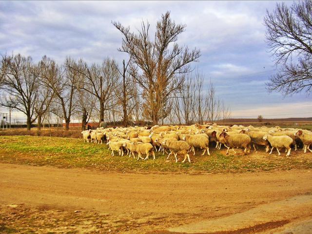Hacia la majada con la s ovejas