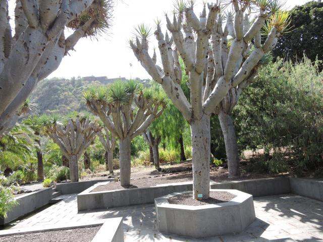 Drago en el jardin botanico las palmas de gran canaria - Jardin botanico las palmas ...