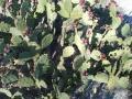 chumberas moradas en benahadux